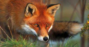 Крадущийся лис