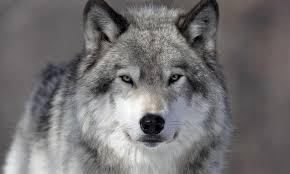 Славянский годоскоп волк