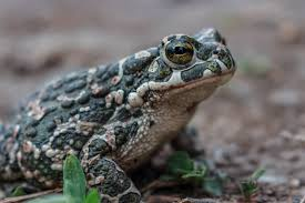 Бородатая жаба